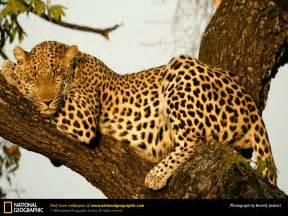 picture cheetah sleeping in a tree picture 5