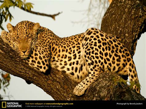 picture cheetah sleeping in a tree picture 2