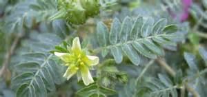jual tanaman tribulus picture 11