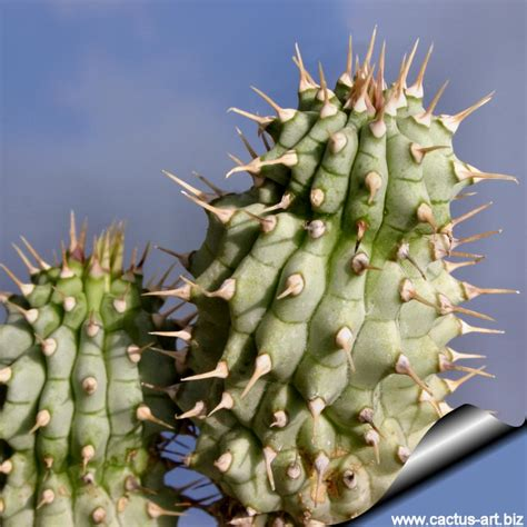 hoodia what in it picture 5