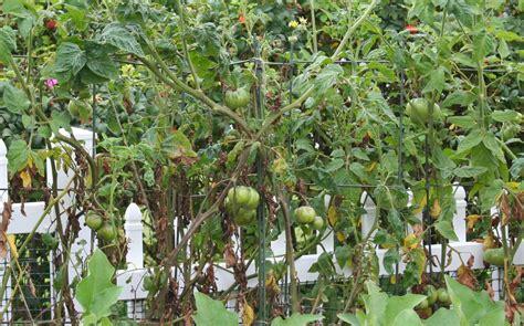 tomato fungus picture 3