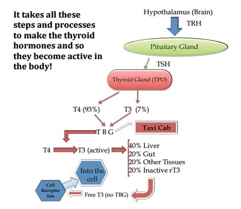 what way does hypothyroidism effect the menstral cycle picture 7