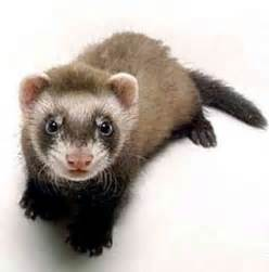 ferret digestion picture 2