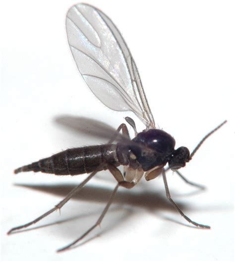 fungus gnats picture 3
