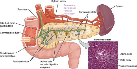 what function does somatostatin play in digestion picture 5