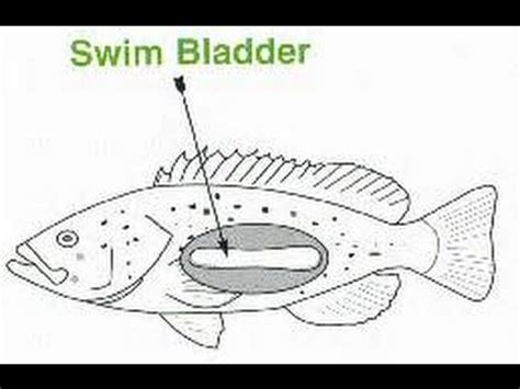 and swim bladder picture 1