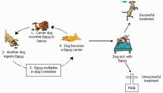 dogs parvovirus intestinal viruses picture 5