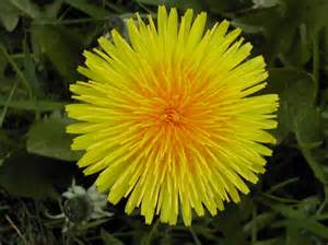 dandelion flower pictures picture 1