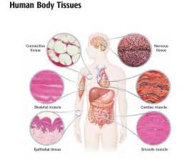 human muscle tissue picture 1