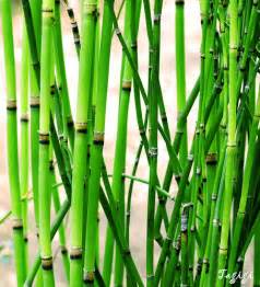 5 horsetail plant picture 1