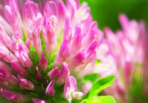 menopause red clover picture 6