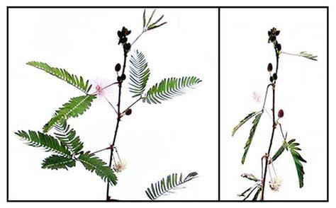 makahiya herbal medicine picture 5