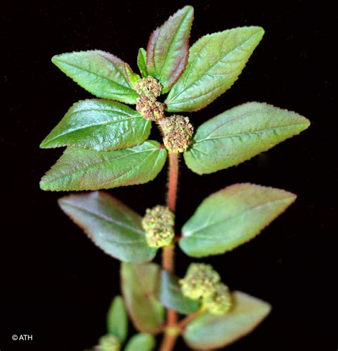 herbal plants and their scientific name picture 3