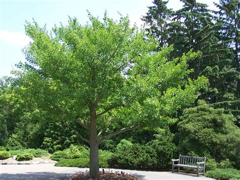 where are ginkgo biloba trees originally from picture 9
