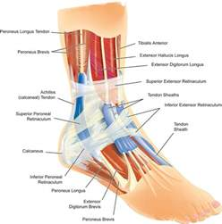 ankle joint diagram picture 1