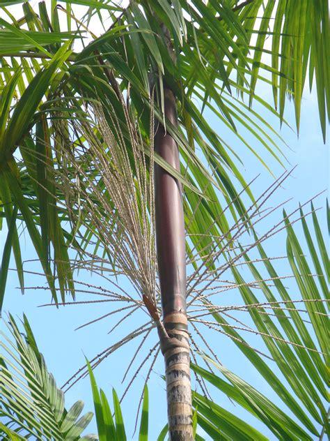acai palm tree picture 6