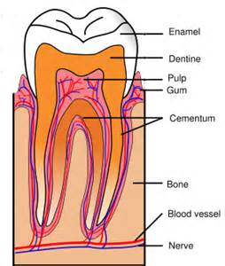 diagram of teeth picture 18