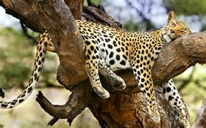 cheetah sleeping in a tree picture 1