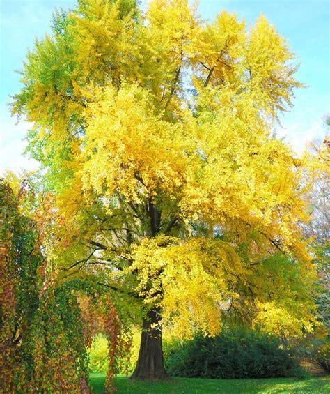 autumn gold ginkgo picture 11