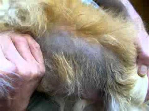 canine skin disorders-black spots picture 7