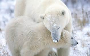 polar bear h picture 5
