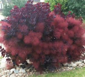 smoke bush maintenance picture 1