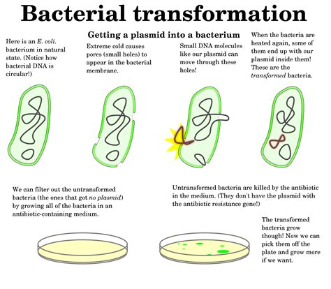 bacterial transformation cohan method picture 3