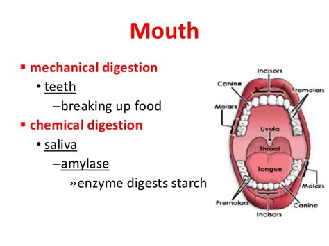 digestion the mouth picture 1