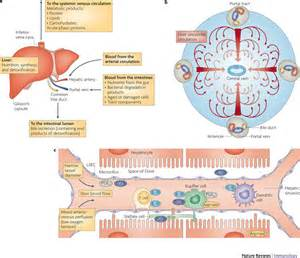 liver cell function picture 1