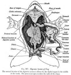 frog digestion picture 2