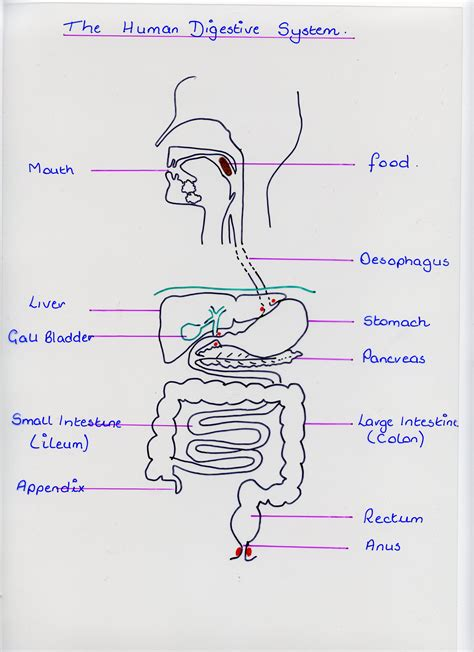 digestion track picture 13
