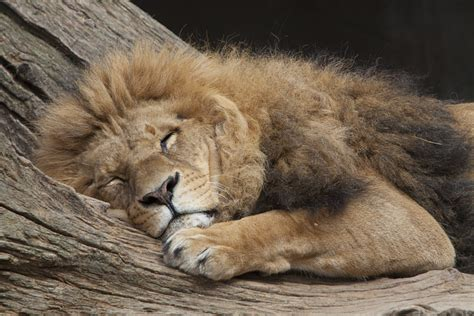 a lion was asleep picture 5