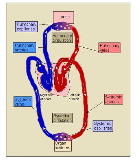circulation of red blood cell picture 14