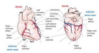 hardening of the heart muscle picture 3