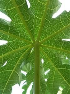 papaya leaf picture 5
