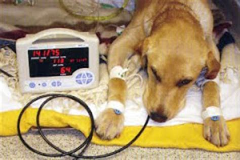Dogs low blood pressure picture 10