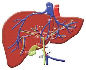portal venous anatomy liver picture 19