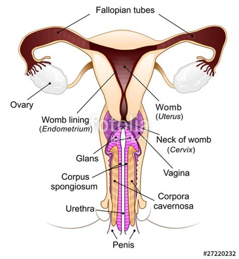diagrams of differnt positions of penis in vagina picture 1
