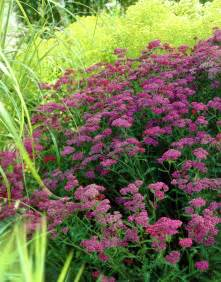 yarrow plants picture 11