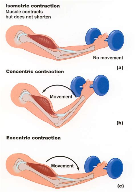 and isotonic muscle contraction picture 6