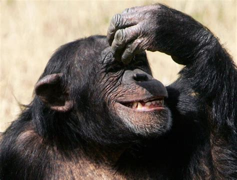 deciduous teeth in chimpanzees picture 7
