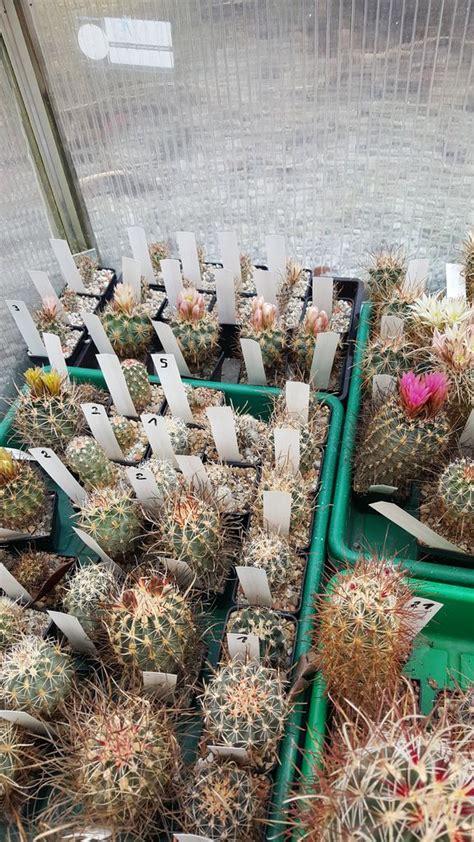 hoodia cactus picture 3