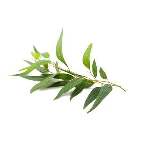 argan plant picture 1