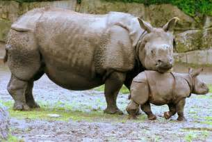 the rhinoceros has a penis about two feet long. picture 1