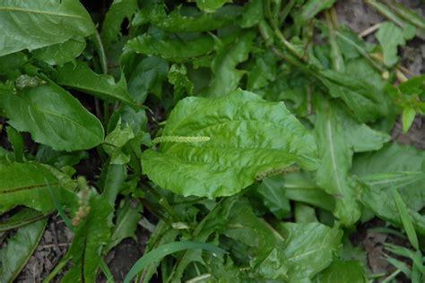 common plantain picture 1