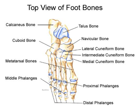ankle joint diagram picture 21
