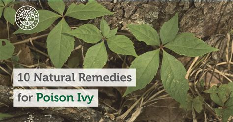 herbal cures for poison oak picture 3