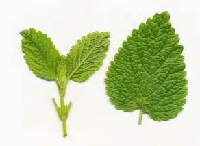 diet herbal tea during pregnancy picture 15