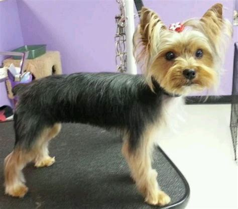 course hair in terrier picture 13