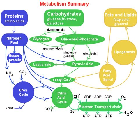 the process of digestion and metabolism of a picture 3